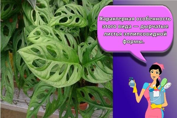 Характерная особенность этого вида — дырчатые листья эллипсовидной формы.