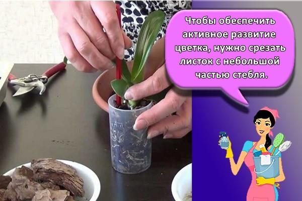 Чтобы обеспечить активное развитие цветка, нужно срезать листок с небольшой частью стебля.