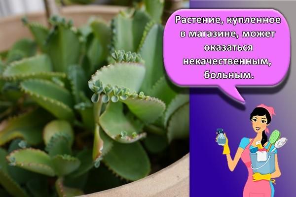 Растение, купленное в магазине, может оказаться некачественным, больным.