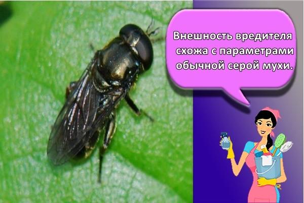 Внешность вредителя схожа с параметрами обычной серой мухи.