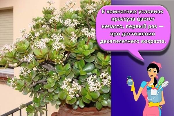 В комнатных условиях крассула цветет нечасто, первый раз — при достижении десятилетнего возраста.
