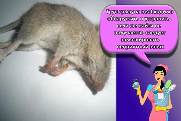Труп грызуна необходимо обнаружить и устранить, если же найти не получается, следует замаскировать неприятный запах