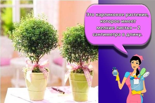 Это карликовое растение, которое имеет мелкие листья – 2 сантиметра в длину.