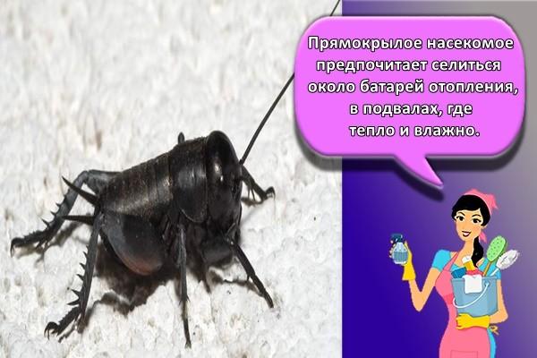 Прямокрылое насекомое предпочитает селиться около батарей отопления, в подвалах, где тепло и влажно.