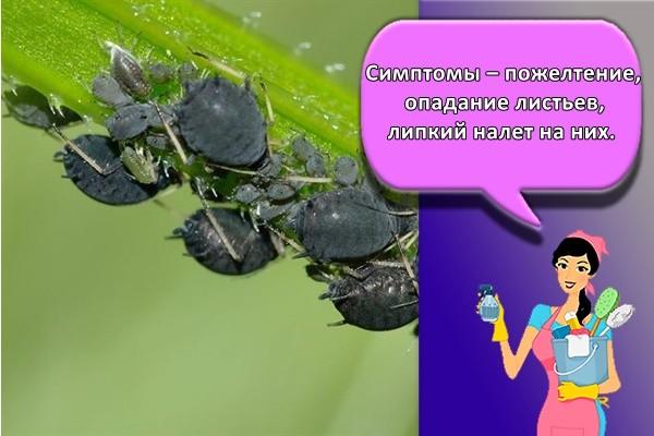 Симптомы – пожелтение, опадание листьев, липкий налет на них.