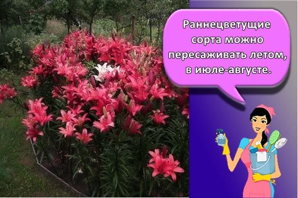 Раннецветущие сорта можно пересаживать летом, в июле-августе.