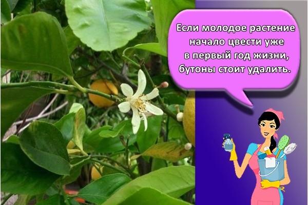 Если молодое растение начало цвести уже в первый год жизни, бутоны стоит удалить.