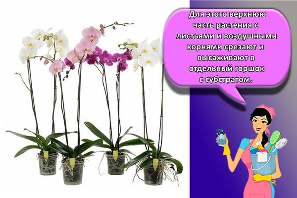 Для этого верхнюю часть растения с листьями и воздушными корнями срезают и высаживают в отдельный горшок с субстратом.
