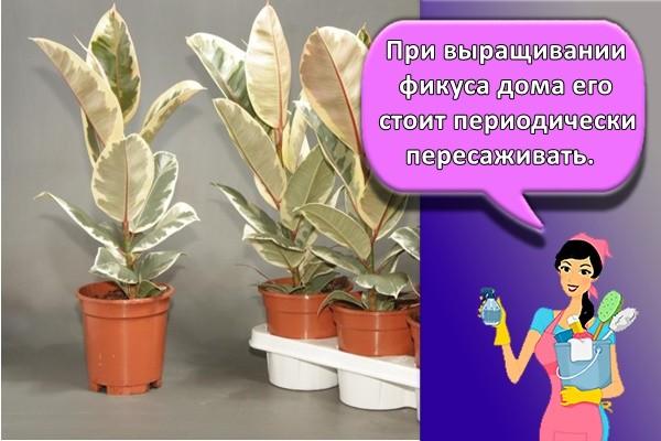 При выращивании фикуса дома его стоит периодически пересаживать.