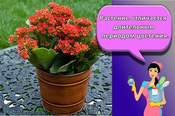 Растение отличается длительным периодом цветения. В
