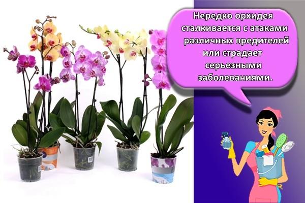 Нередко орхидея сталкивается с атаками различных вредителей или страдает серьезными заболеваниями.