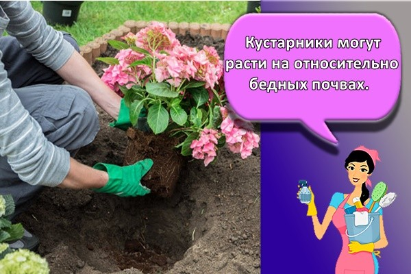 Кустарники могут расти на относительно бедных почвах.