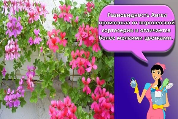 Разновидность Ангел произошла от королевской сортосерии и отличается более мелкими цветками.