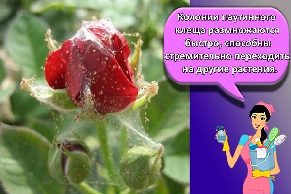 Колонии паутинного клеща размножаются быстро, способны стремительно переходить на другие растения.