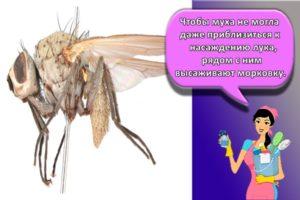 Как бороться с луковой мухой народными средствами и препаратами