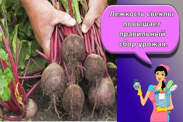 Лежкость свеклы повышает правильный сбор урожая.
