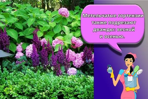 Метельчатые гортензии также подрезают дважды: весной и осенью.