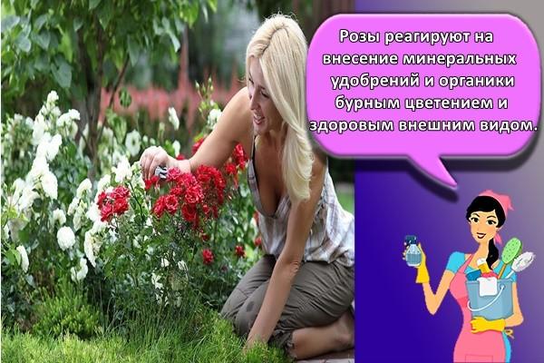 Розы реагируют на внесение минеральных удобрений и органики бурным цветением и здоровым внешним видом.