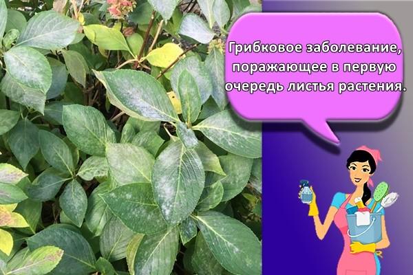 Грибковое заболевание, поражающее в первую очередь листья растения.