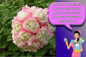 Выращивание и уход за пеларгонией в домашних условиях для начинающих
