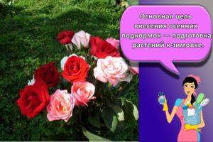 Правила выращивания и ухода за розами в открытом грунте