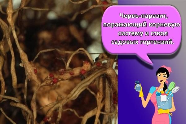 Червь-паразит, поражающий корневую систему и ствол садовых гортензий.