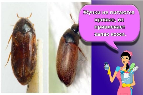Жучки не питаются кровью, их привлекает запах кожи.