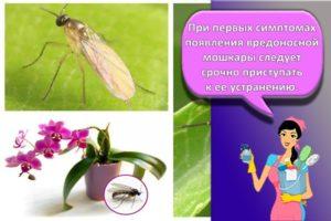 Что делать и как бороться, если в орхидее завелись мошки