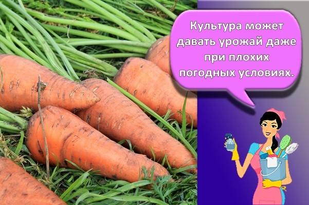 большая морковь