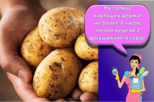 Сроки и способы, как правильно сохранить картошку на зиму в квартире и погребе