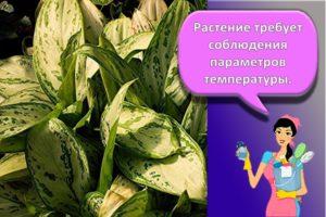 Правила ухода и выращивания аглаонемы в домашних условиях, описание сортов