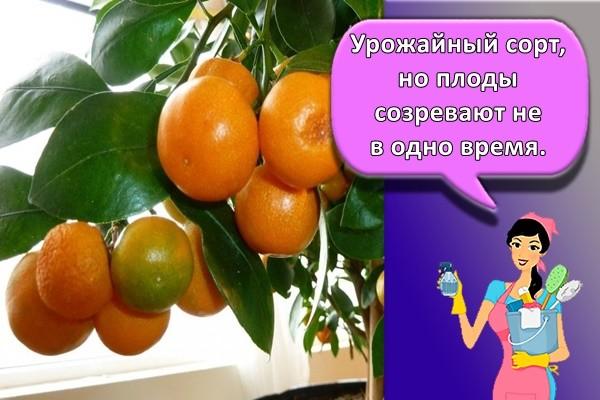 Урожайный сорт, но плоды созревают не в одно время