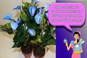 Как ухаживать за мужским цветком антуриумом в домашних условиях