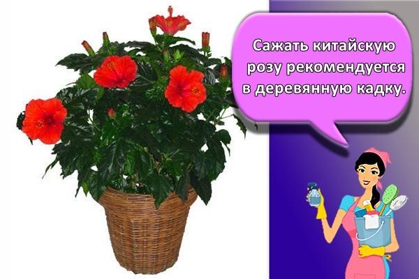 Сажать китайскую розу рекомендуется в деревянную кадку.
