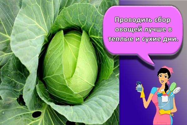 Проводить сбор овощей лучше в теплые и сухие дни.