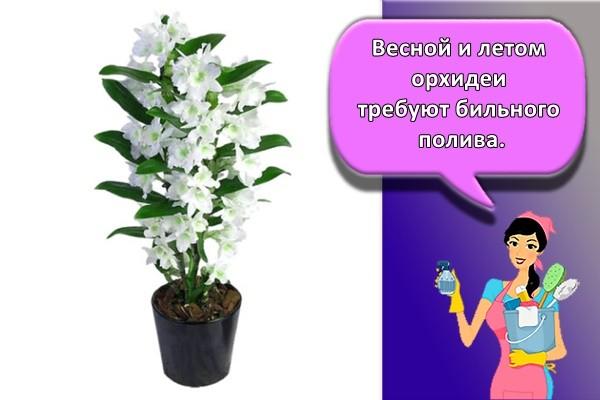 Весной и летом орхидеи требуют обильного полива.