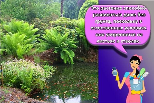 Это растение способно развиваться даже без грунта, поскольку в естественных условиях оно укореняется на листьях и стволах.