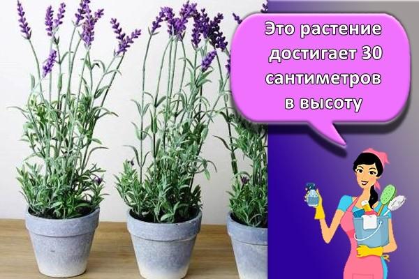 Это растение достигает 30 сантиметров в высоту