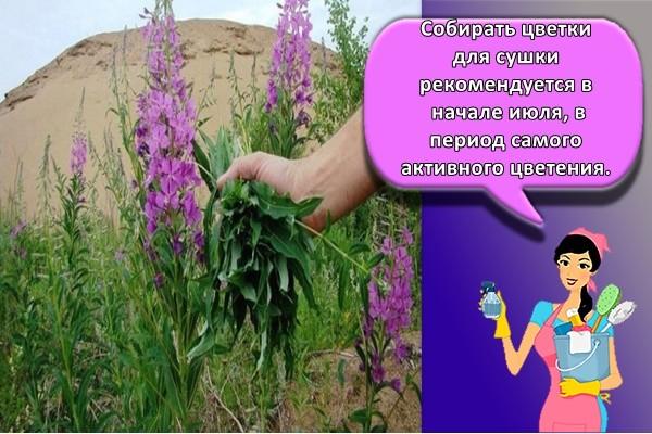 собирать цветки для сушки рекомендуется в начале июля, в период самого активного цветения