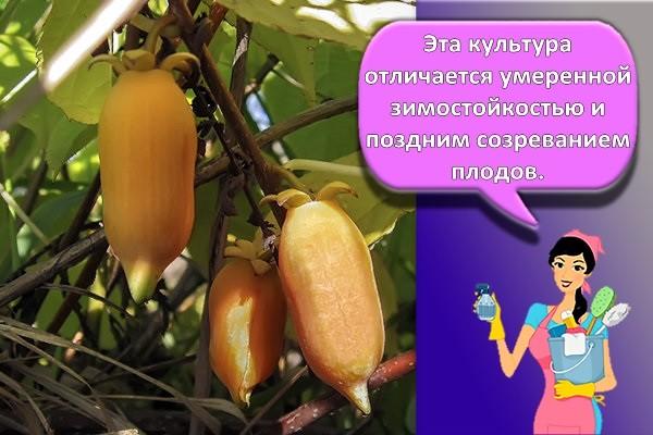 вид абрикосовый