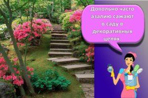 Посадка и уход за садовой азалией в открытом грунте, правила выращивания