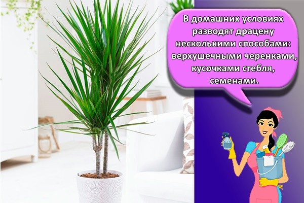 В домашних условиях разводят драцену несколькими способами: верхушечными черенками, кусочками стебля, семенами.