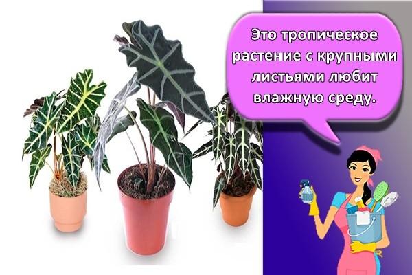 Это тропическое растение с крупными листьями любит влажную среду.