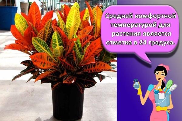 Средней комфортной температурой для растения является отметка в 24 градуса.