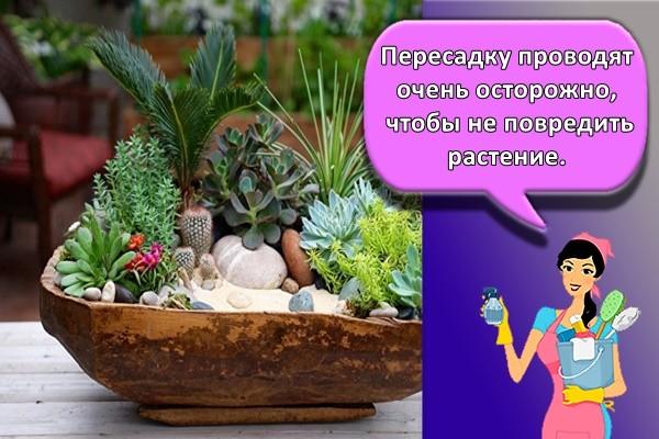 Пересадку проводят очень осторожно, чтобы не повредить растение.