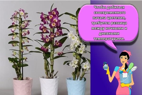 Чтобы добиться своевременного начала цветения, требуется разница между ночными и дневными температурами