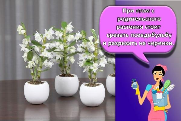 При этом с родительского растения стоит срезать псевдобульбу и разрезать на черенки.