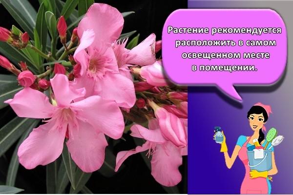 Растение рекомендуется расположить в самом освещенном месте в помещении.