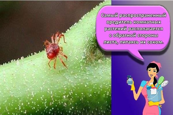 Самый распространенный вредитель комнатных растений располагается с обратной стороны листа, питаясь их соком.