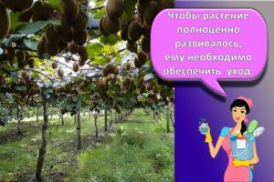 Правила посадки и ухода за актинидией, нюансы выращивания растения